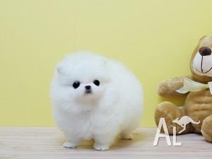 White & Black Teacup Pomeranian puppies for Sale in SYDNEY, New