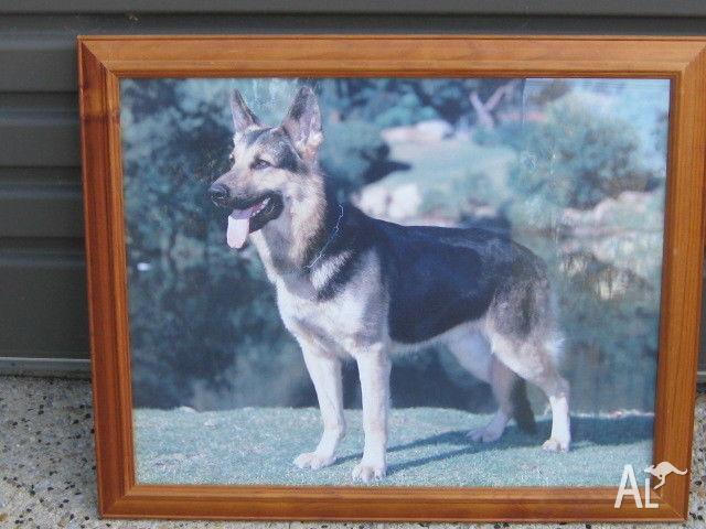 Wooden Framed German Shepherd Print / Picture