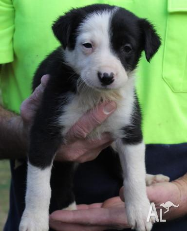Working Border Collie Pups Short Hair For Sale In Belford New South Wales Classified Australialisted Com