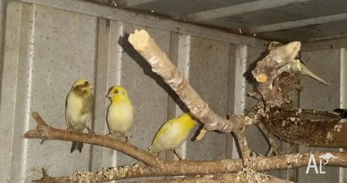 young canaries for sale $12 each or $40 lot