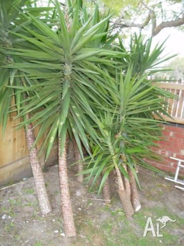 YuCcAs PLANT