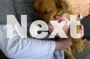 1 Female Bullmastiff X Bull Terrier