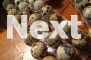 12 Fertile Japanese Quail Eggs