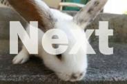 4 Dwarf Lop Rabbits for sale