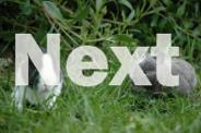 9 Week Netherland Bucks
