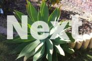 AGAVE_BIG OVER A METRE WIDE_GENUINE ENQUIRY ONLY_PHONE