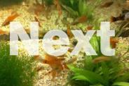 Assorted Platy and Swordtail For Sale