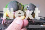 Baby Green Cheek Conures Hand Fed/Raised 11 Weeks Old
