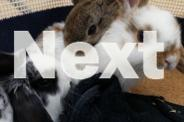 Beautiful Purebred Mini Lop Bunny Rabbits 8 weeks