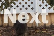 Black Silkie rooster NEEDS GOOD HOME
