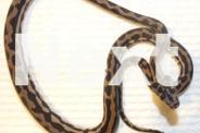 Cape York Carpet Python Hatchlings