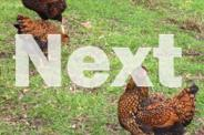Chicken Fertile Eggs Gold,Silver,Blue Laced Wyandottes,
