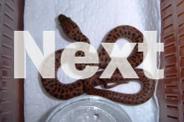 Children's Python Hatchlings
