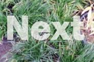 DWARF MONDO GRASS OVER 60 IN 200MM POTS VERY