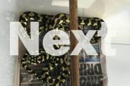 Female Jungle Python