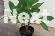 Frangipani Plants - Potted - 5 to choose from
