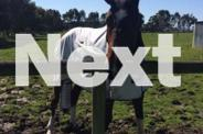 Gorgeous 17.3hh bay gelding for sale