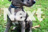 Hunting Pup (bull dane stag x wolfhound pointer arab)