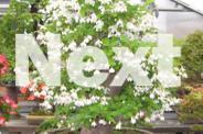 Jac rare plants -- snowbell very fragrant flowering