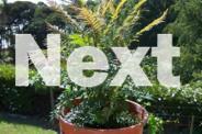 Jacaranda Trees For Sale