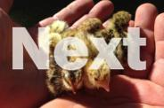 Jap. Quail Chicks - Day Old to 3 Weeks