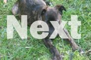 JINX - Large Female Cross breed