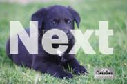 Lab cross Kelpie Puppies