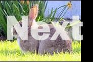 Large New Zealand rabbits