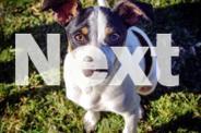 Lozza - Small Male Mini Fox Terrier Mix Puppy