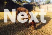 Male Great Dane x Bull Arab