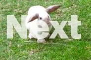 Mini Lop Rabbit with Hutch, lapine, minilop