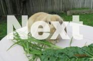 Mini Lop x Dwarf Lop rabbits ready for urgent sale -