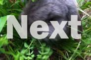 Minilop Bunny Bunnies Pairs ( Boy & Girl) Otter Blue