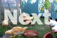 Mixed breed pullets for sale