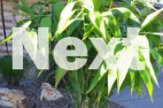 ** PLANT SALE - TIGER GRASS (THYSANOLAENA MAXIMA) **