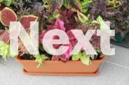 PRETTY AND EASY TO GROW-COLEUS PLANTS
