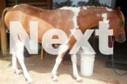 Pretty Pinto filly FREE LEASE