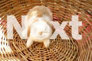 RABBITS / mini lops / netherland dwarfs / Rex rabbits