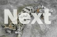 Reduced beautiful spotted Bengal kittens