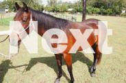 Ruby - Quarter Horse Cross Filly