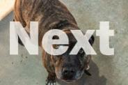 Staffordshire terrier desexed male URGENT ADOPTION