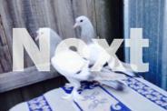 Turkish tumbler pigeons