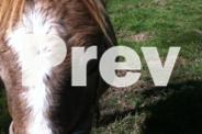 12.5HH grey childs pony