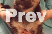 4 Mini Foxy X Maltese pups, Microchipped, Vaccinated,