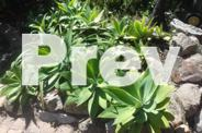 AGAVES $20.00 EA_BEAUT PLANTS_400 TO 500ml WIDE_HIGH