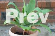 Agaves & yucka for sale!