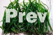 aquarium plant - fine leaf java- rare species