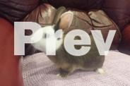 Baby norwegian dwarf bunny rabbits