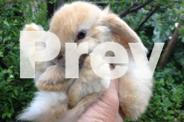 Baby Purebred Minilop female