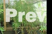 Bamboo plants,Gracillis,Alphonse Kar,Oldhamii from $30